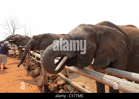 Afrikanische Elefanten im Wild Horizons Elephant Camp an den Victoria Fällen in Simbabwe. - Stockfoto