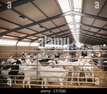 Arbeitnehmer, die tendenziell Ziegen auf Bauernhof - Stockfoto