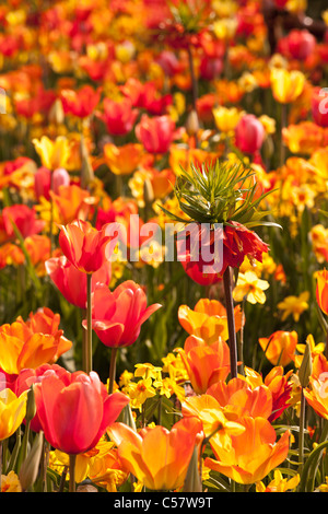 Den Niederlanden, Lisse, Blumengarten Keukenhof, vor allem Tulpen. - Stockfoto
