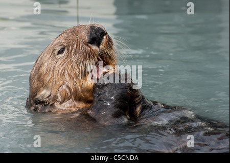 Sea Otter, Enhydra Lutris, Essen Muscheln, Valdez, Alaska (Prinz-William-Sund) - Stockfoto