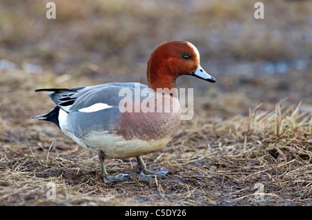 Close-up Seite Schuss eine Pfeifente Ente stehend auf dem Rasen - Stockfoto