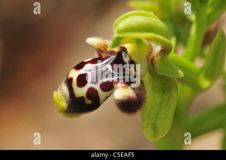 Israel, Ophrys wilde Biene Orchidee (Ophrys Umbilicata) Bee-Orchidee - Stockfoto