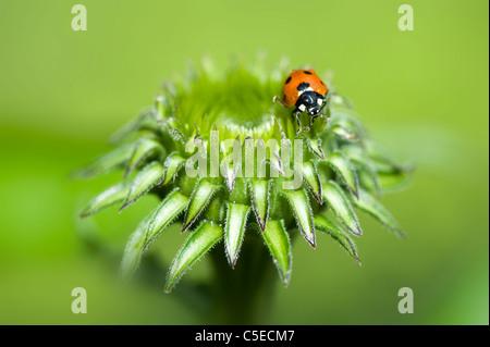 Nahaufnahme Bild von einem Seven-Spot Ladybird - Coccinella Septempunctata auf die Knospe einer Sonnenhut - Echinacea - Stockfoto