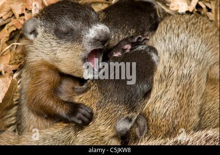 Wurf von Neugeborenen Waldmurmeltiere in Höhle Marmota Monax auch Murmeltiere im Osten der USA - Stockfoto