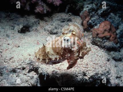 Nahaufnahme von Tintenfisch (Sepia Officinalis) in der Nacht. Ägypten, Rotes Meer - Stockfoto