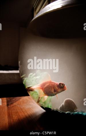 Black Moor Fisch im Goldfischglas - Stockfoto