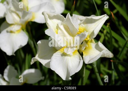 Sibirische Schwertlilie, Iris Sibirica 'White Swirl', Iridaceae. - Stockfoto