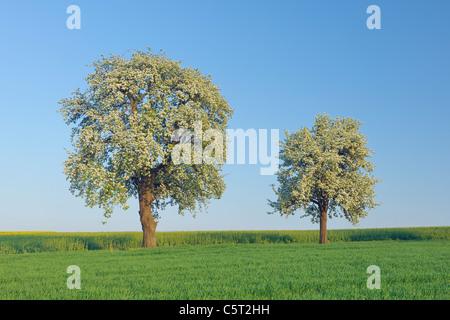 Deutschland, Saarland, Mettlach, Merzig-Wadern, Blick auf blühende Birnbaum auf Wiese - Stockfoto