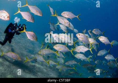 Schule von Jack Fisch oder Makrelen, Nuweiba, Rotes Meer, Sinai, Ägypten - Stockfoto