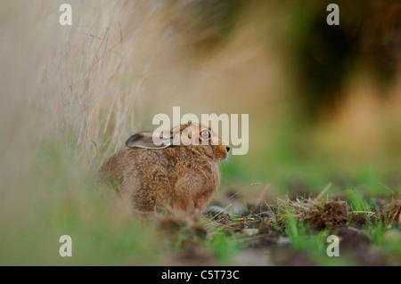 BRAUNER Hase Lepus Europaeus Profil eines Erwachsenen ruht in einem Feldrand. Mai. Derbyshire, UK - Stockfoto