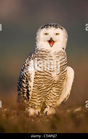 Schnee-Eule (Bubo Scandiacus, Nyctea Scandiaca) thront auf Boden, ruft (Gefangenschaft gezüchtet). Schottland, Großbritannien. - Stockfoto