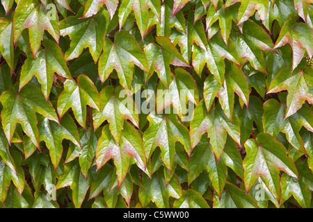 Boston Ivy Vine (Parthenocissus Tricuspidata) - Stockfoto
