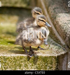 Drei kleine Entenküken (Stockente) gesehen am Neptunbrunnen, Cheltenham, Vereinigtes Königreich. - Stockfoto