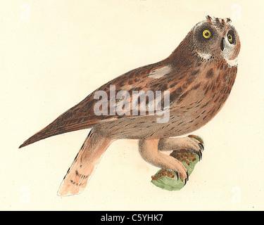 Die Sumpfohreule (Otus palustris, Asio Flammeus) vintage Vogel Lithographie - James De Kay, Zoologie von New York, - Stockfoto