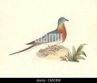 Die Wilde Taube, Passenger Pigeon (Ectopistes migratorius migratoria, Ectopistes) vintage Vogel Lithographie - James - Stockfoto