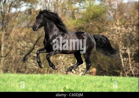 Morgan Horse (Equus Ferus Caballus). Schwarzer Hengst im Galopp auf der Wiese. - Stockfoto