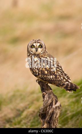 SHORT-EARED Eule Asio Flammeus Erwachsener thront auf einem alten stumpf North Wales, UK - Stockfoto