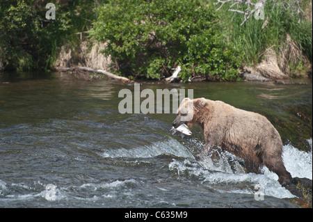 Braunbären/Grizzly Bären Fang von Lachs - Stockfoto