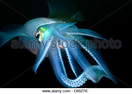 Tintenfisch (Sepioteuthis) Mabul Insel Malaysia - Stockfoto