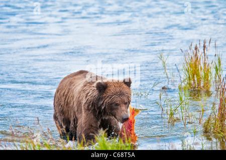 Grizzly Bear Cub mit Lachs, Ursus Arctos Horriblis, Brooks River, Katmai Nationalpark, Alaska, USA - Stockfoto