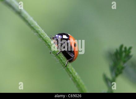 Marienkäfer, Essen ein Blattlaus, Worcestershire, England, Europa - Stockfoto