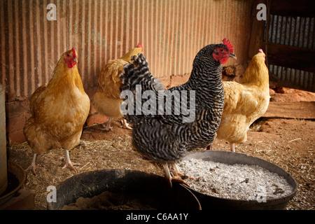 Eine schwarze & weiß Barred Plymouth Rock Henne & drei goldene Buff Orpington Hühner innerhalb einer Freilandhaltung - Stockfoto