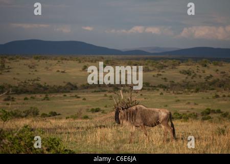 Einsamer Gnus während der Völkerwanderungszeit, Masai Mara, Kenia, Afrika - Stockfoto