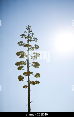 Eine Aloe Vera Pflanze in Blüte - Stockfoto