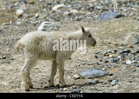 Bergziege Kind Oreamnos Americanus, Britisch-Kolumbien Kootenay National Park. Großen Hufen, Säugetier, aber keine - Stockfoto