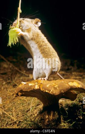 Holzmaus (Apodemus sylvaticus). Auf einem Pilz stehend, während eine Haselnuss erntet wird. Deutschland - Stockfoto