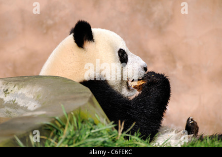 gro er panda ailuropoda melanoleuca essen bambus stockfoto bild 87260499 alamy. Black Bedroom Furniture Sets. Home Design Ideas