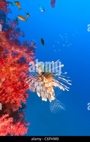 Feuerfische schwimmen neben lebhaft roten Baum Korallen wachsen auf die verkrustete Kette von einem alten Kanal - Stockfoto