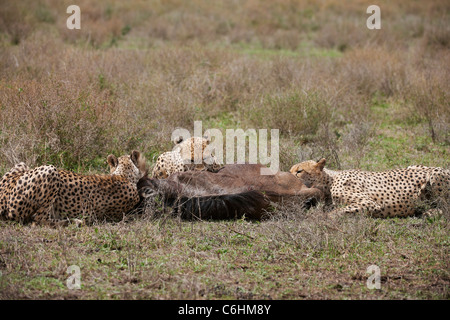 drei männliche Geparden Fütterung auf Beute, Acinonyx Jubatus, Serengeti, Tansania, Afrika - Stockfoto