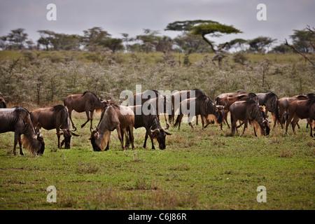 Blaue Gnus auf Migration, Connochaetes Taurinus, Serengeti, Tansania, Afrika - Stockfoto