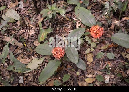 Wald-Feuerball Lilien (Scadoxus Cinnabarinus: Liliaceae) im Regenwald von Kamerun. - Stockfoto