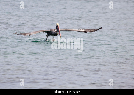 Brauner Pelikan (Pelecanus Occidentalis) - Stockfoto
