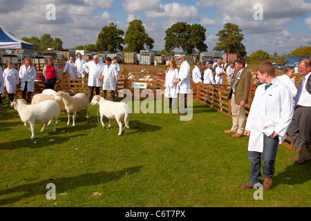 Schafe werden in einer Show-Ring auf der Bucks County Show 2011 bewertet. - Stockfoto