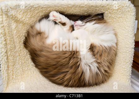 Ragdoll Katze schlafen in einer Hängematte Bett fixiert an einer Zentralheizung Heizkörper - Stockfoto