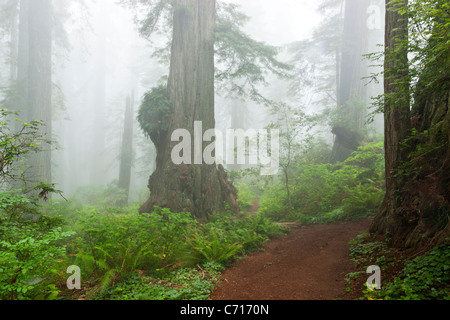 Redwood-Wald in Nebel gehüllt, - Stockfoto