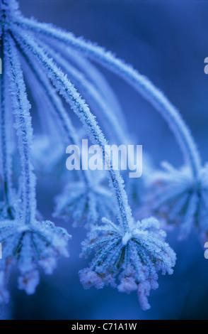 Heracleum Sphondylium, Bärenklau in Frost, blaue Thema, blauer Hintergrund - Stockfoto