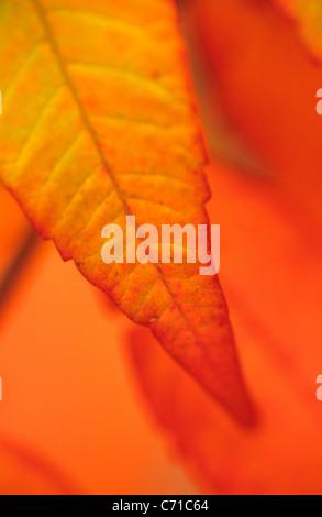 Rhus Typhina Sumach Herbst Herbstlaub auf Baum orange Hintergrund. - Stockfoto