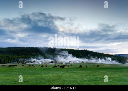 Eine Herde Büffel grasen vor Upper Geyser Basin im Yellowstone-Nationalpark, Wyoming. - Stockfoto