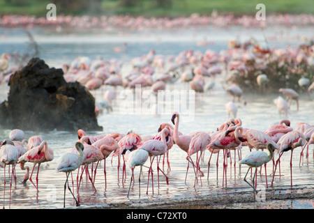 Flamingo in der Nähe der heißen Quellen am Lake Bogoria, Kenia. - Stockfoto