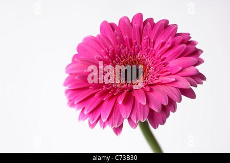 Barberton-Gänseblümchen (Gerbera Gerbera Jamesonii) rosa Blume auf ...