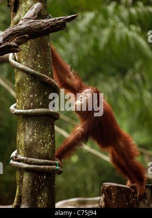 Young Bornean Orang-Utans (Pongo Pygmaeus) im Zoo von Singapur, Singapur Asien - Stockfoto