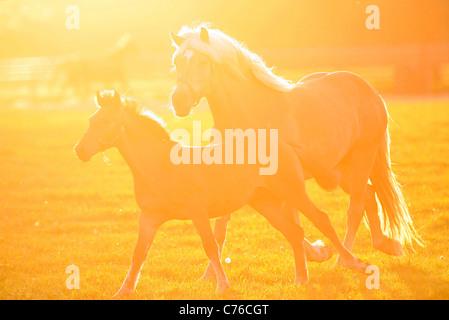 Haflinger Stute und Fohlen auf der Weide am Morgen - Stockfoto