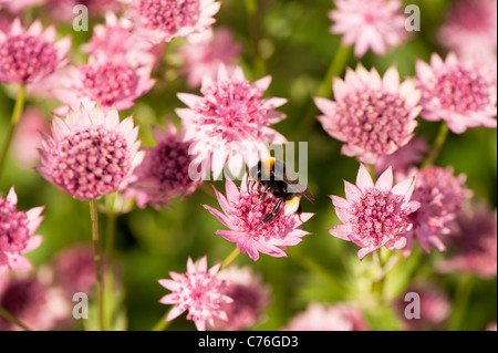gro e blumen astrantia sterndolde mit sun flare lens flare stockfoto bild 33469572 alamy. Black Bedroom Furniture Sets. Home Design Ideas