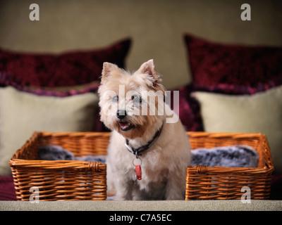 Ein Cairn-Terrier Hund mit Wohnsitz in einem Hotel, das Haustier Hunde UK begrüßt - Stockfoto