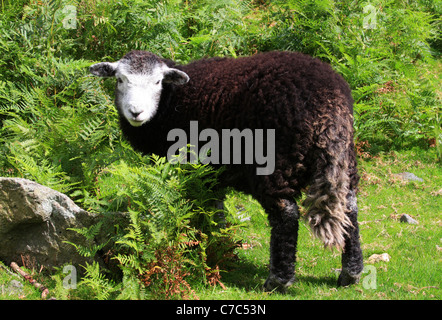 Junge Herdwick Schafe, Nationalpark Lake District, Cumbria, England - Stockfoto