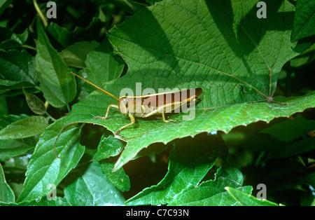 Obskure Vogel Grashüpfer (Schistocerca Obscura: Feldheuschrecken) männlich, South Carolina, USA